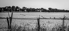 Venezia, isola del Lazzaretto vecchio (Gian Floridia) Tags: lazzarettovecchio venezia alberi bn bw bienne birds lagoon laguna mare sea steccato trees uccelli
