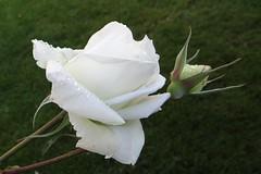 White Rose (Gartenzauber) Tags: iloveyourphoto dreamlikephotos floralfantasy doublefantasy perfectpetals