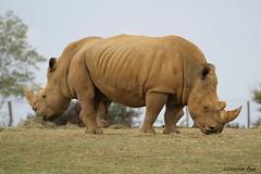Rhinocéros blanc (Passion Animaux & Photos) Tags: rhinoceros blanc whiterhinoceros ceratotherium simum zoo laboissieredudore france