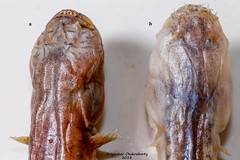 Taenioides vs Odontamblyopus (priyankarchakraborty1991) Tags: goby dragon fish sunderbans saltwater taxonomy head distinguish macro