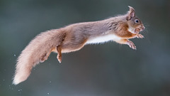"""Flying Squirrel... (coopsphotomad) Tags: """"red squirrel"""" squirrel red scotland highlands mammal animal wildlife nature outdoors forrest leap jump athletic nut bokeh canon highiso explored"""
