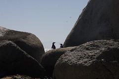 African penguins (rjmiller1807) Tags: canon30d canoneos30d canon africanpenguin africanpenguins spheniscusdemersus jackasspenguin blackfootedpenguin foxybeach bouldersbeach boulders southafrica westerncape capetown simonstown 2018 beach rocks penguins birds avian aves