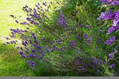 La lavande de notre jardin (Barnie76@ ,) Tags: fleurs lavande jardin montmain violet mauve flowers