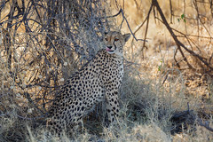 Cheetah I (cd.delaruelle) Tags: etosha guépard namibia namibie namutoni oshikotoregion cheetah canon eos 5dmarkiii