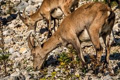 Steinbock (stefangruber82) Tags: alpen alps tyrol tirol steinbock alpineibex ibex