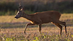 Sarna (Capreolus capreolus) (photobogacz) Tags: animal mammal sarna roe deer grass wildpoland wildlife capreoluscapreolus kamuflaż moro dzikaprzyroda nature wild lovenature passion pasja hobby polska przyroda photography manfrotto canon400mm56l fotoprzyroda fotografia przyrodnicza canon canonpolska field tree forest 5d3 5dmarkiii 5dmark3