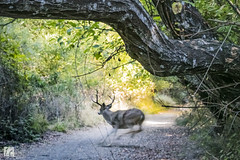 Running Scared (lycheng99) Tags: scared running runningscared deer motion speed escape henrycowellstatepark trail path hikingtrail hiking trees wildlife animal california santacruz scottsvalley santacruzmountains