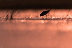 ''Velours minuscule!'' Bécasseau minuscule-Least sandpiper (pascaleforest) Tags: oiseau bird animal passion nikon nature wild wildlife faune bokeh light lumière îlesdelamadelaine québec canada