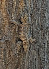 Desert Spiny Lizard (Sceloporus magister) (Ron Wolf) Tags: blm bearsearsnationalmonument desertspinylizard nationalpark phrynosomatidae reptilia sceloporusmagister squamata camouflage desert lizard nature reptile wildlife utah