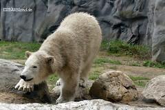 Lara - Nanook - Eisbären - Zoom Gelsenkirchen (ElaNuernberg) Tags: eisbärnanook eisbärlara eisbär polarbear zoomgelsenkirchen zoo zooanimals zootiere ijsbeer isbjorn ourspolaire orsopolare niedźwiedźpolarny jääkaru ursusmaritimus