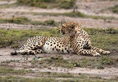 CHEETAH ON THE MASAI MARA (gazza294) Tags: cheetah masaimara mara kenya africa flicker flickr flckr flkr flickrexplore explore gazza294 garymargetts wildlife wildlifemagazine wildlifephotographer wildlifephotography nationalgeographic naturetrek