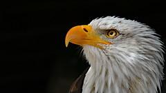 Weißkopfseeadler (karinrogmann) Tags: weiskopfseeadler raubvogel baldeagle birdofprey aquiladimaretestabianca rapace