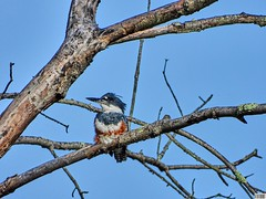 Just Chilling Kingfisher (Alpha-Male1) Tags: kingfisher beltedkingfisher nikonp1000 maxzoom3000mm huntleymeadowspark hmp