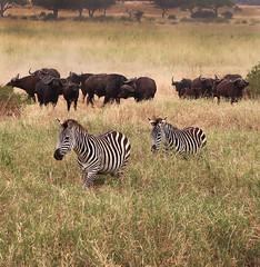 """Let's go ... "" (JFGryphon) Tags: tarangirenationalpark tanzania zebras gnus wildebeest followtheleader eastafrica letsgo thetrail africanbuffalo capebuffalo"