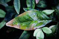 Rainy leaf 🍃 (katyearley) Tags: t6 rebel canon red shiny green droplets water leaf
