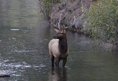 Bull Elk In Bear Creek (fethers1) Tags: elk bullelk evergreen evergreenlake coloradowildlife