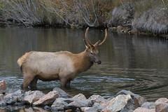 Spike Bull Elk In Bear Creek (fethers1) Tags: elk bullelk evergreen evergreenlake coloradowildlife
