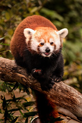 Red Panda DC Zoo 3-0 F LR 10-7-18 J052 (sunspotimages) Tags: animal animals nature wildlife panda redpandas pandas redpanda zoo zoos zoosofnorthamerica nationalzoo fonz fonz2018