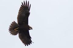 Marsh Harrier - Leighton Mos (SalfordMartin) Tags: marshharrier leightonmoss