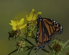 MonarchButterfly_SAF8625 (sara97) Tags: danausplexippus butterfly copyright©2018saraannefinke insect missouri monarch monarchbutterfly nature photobysaraannefinke pollinator saintlouis