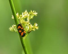 Froghopper on wild garlic (Fizzog2) Tags: cercopidae froghopper insect leafhopper wildgarlic cercopisvulnerata