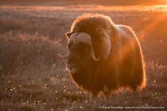 Sentinels of the Arctic (David Swindler (ActionPhotoTours.com)) Tags: alaska northslope arctic light muskox muskoxen sunset wildlife