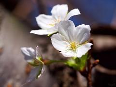 ソメイヨシノ Yoshino cherry tree (takapata) Tags: olympus em5 macro m60mm f28 cherry sakura flower