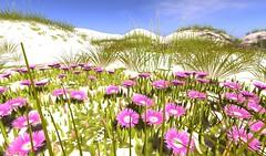 Heart Pigface Dune Flowers (Lilith Heart) Tags: secondlife secondlifelandscaping secondlifeflowers heartgardencentre heartbotanicals sanddunes virtualworld virtualplants virtualflowers pigface dunegrasses duneflowers