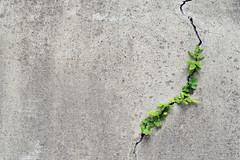 すきまぐらし (Yorozuna Yūri / 萬名 游鯏(ヨロズナ)) Tags: 草 植物 雑草 grass weed plant plants 壁 壁面 混凝土 コンクリート concrete wall concretewall ひび 罅 ひび割れ 罅割れ 裂け目 割れ 割け目 裂け 裂目 割れ目 crack 若松河田 曙橋 東京都 東京 wakamatsukawada akebonobashi tokyo japan industar61 industar61lzmc50mm индустар61лзmc50mm oldlens 隙間 すき間 すきま スキマ 葉っぱ 葉 leaf leaves 緑色 緑 green color 色 色彩