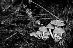 Black and white of Fungi in the woods. (Ghazghul) Tags: eastleigh fair oak bishopstoke stoke park woods hampshire nikon d300s 20mmf28d nikkor