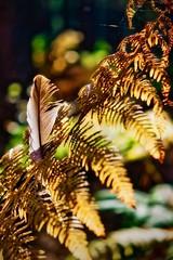 feather&fern (Mallybee) Tags: golden fujinon f284 1855mm sunshine bokeh web fern feather fuji fujifilmxt3 xt3 apsc xtrans mallybee forest autumn nature