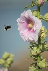 2015 - Juillet - Gavres (fleurs).007 (hubert_lan562) Tags: fleur flower insecte vol nature morbihan gavres lorient 56 bretagne