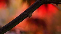 Planet Acer (Nathalie_Désirée) Tags: snail mollusc gastropod animal fauna flora tree autumn bokeh red leaf leafs bark sonyalpha7rii canon50mm baby sweet cute colorful colors color colour colours nature outdoors macro closeup eobaniavermiculata
