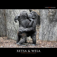 XETSA & WELA (Matthias Besant) Tags: affe affen affenblick affenfell animal animals ape apes fell hominidae hominoidea mammal mammals menschenaffen menschenartig menschenartige monkey monkeys primat primaten saeugetier saeugetiere tier tiere trockennasenaffe primates querformat gorilla baby zoo zoofrankfurt matthiasbesant wela xetsa jungtiere hessen deutschland westliche flachlandgorillas
