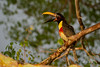 Chestnut-eared Aracari #explored