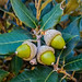 Canyon oak acorns #3