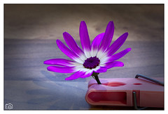 Purple Flower (Marc Gordon'74) Tags: purple flower macro peg