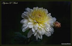Crisantemo bianco - Ottobre-2018 (Agostino D'Ascoli) Tags: crisantemo nature texture cianciana sicilia fiori nikon nikkor agostinodascoli macro