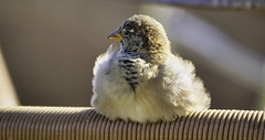 urban sparrow is sitting at my bakery (norbert.wegner) Tags: