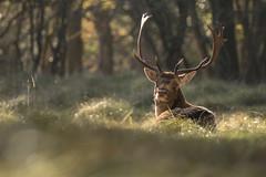 Damhert - Fallow Deer (KarsKW) Tags: karskw kars klein wolterink groenendaal awd noordholland noord holland nederland heemstede canon eos 750d 100400 mark ii