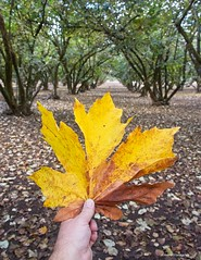 Big autumn leaf (JSB PHOTOGRAPHS) Tags: jsb9964 big autumn leaf dorrisranch d3 28300mm nikon springfieldoregon trees leaves hand holding