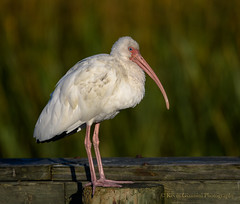 White Ibis (Kevin James54) Tags: eudocimusalbus ibis nikond850 tamron150600mm whiteibis wilmington animals avian bird fortfisher kevingianniniphotocom