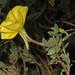 Beach Evening Primrose - Oenothera drummondii, Folly Beach County Park, Folly Beach, South Carolina