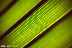 lines [Day 3552] (brianjmatis) Tags: abstract lines pattern green nature photoaday palm project365 sanluisobispo california unitedstates us macro