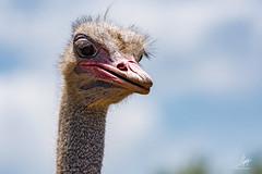 """Enojada?"" (Alyaz7) Tags: nikond7200 lentenikonnikkorafs200500mm156eedvr rawquality zoofarimorelos safari zoo ave bird naturaleza nature avestruz ostrich enojo angry retrato portrait birdphotography grandesojos bigeyes"