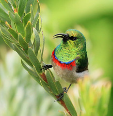 Southern double-collarded sunbird - South Africa (lotusblancphotography) Tags: africa afrique southafrica nature wildlife faune oiseau bird sunbird souimanga flower fleur protea