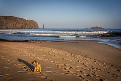 Longing (cliveg004) Tags: sandwoodbay sutherland westcoast scotland beach sand johnmuirtrust cliffs seastack ambuachaille waves sea spray rocks sky sunrise dawn morning monty borderterrier dog terrier nikon d5200