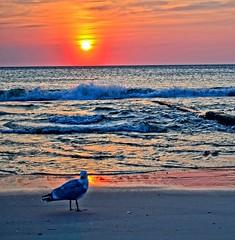 Seagull and setting sun (Tobi_2008) Tags: sonnenuntergang sunset möwe seagull strand beach meer sea ozean ocean atlantik nordsee sylt schleswigholstein deutschland germany allemagne germania