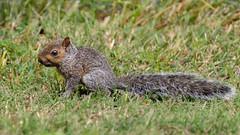 Itty Bitty (Lynn Tweedie) Tags: sigma150600mmf563dgoshsm grass canon green 7dmarkii missouri tail animal
