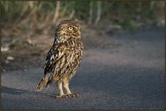 Little Owl (image 2 of 3) (Full Moon Images) Tags: wildlife nature bird birdofprey cambridgeshire fens little owl